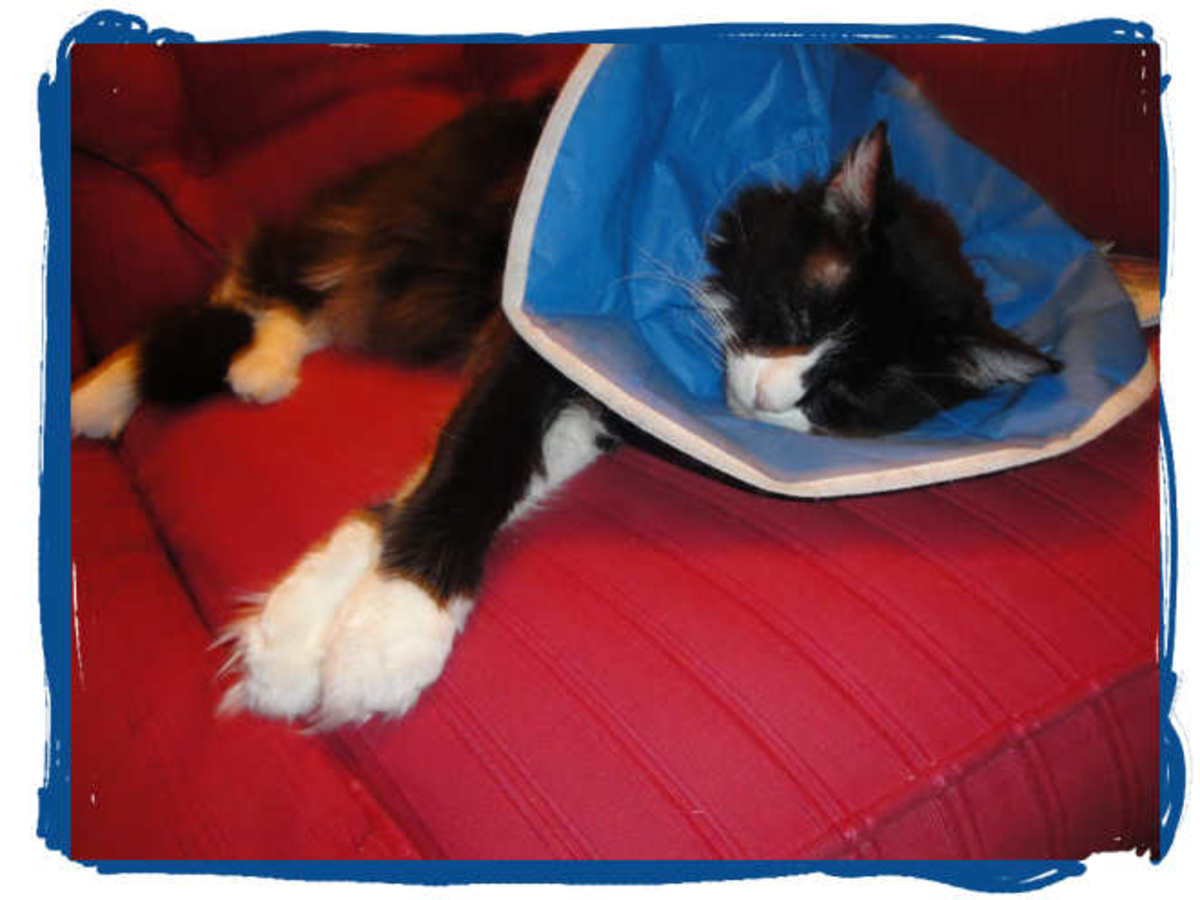 Miss Kitty in Her Comfy Cone: See—not too bad for sleeping in.
