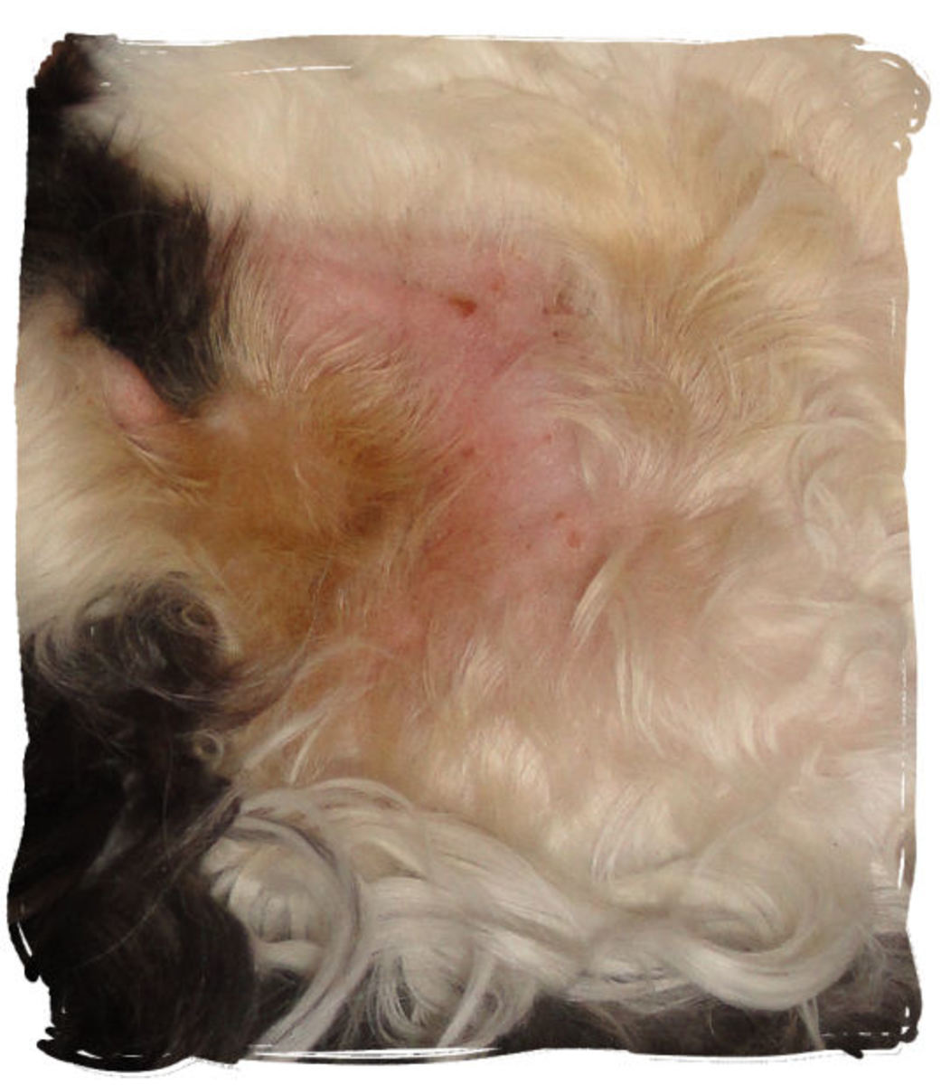 Hot Spot, Bald, Healing: Here is a hot spot under my cat's arm. It is in the process of healing with the help of a cone and treatment with HomeoPet Hot Spot. Some fur is discolored from the open lesions a couple days prior.