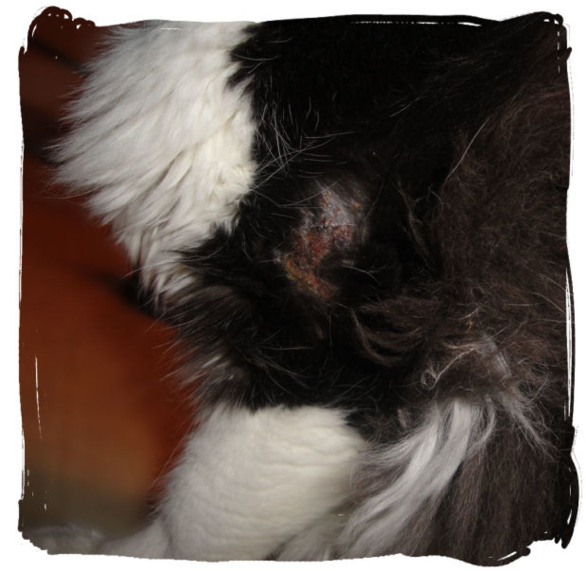 Here's an example of a hot spot on my cat. This is when it is still healing, just starting to dry up. You can see some matted fur around the edges.