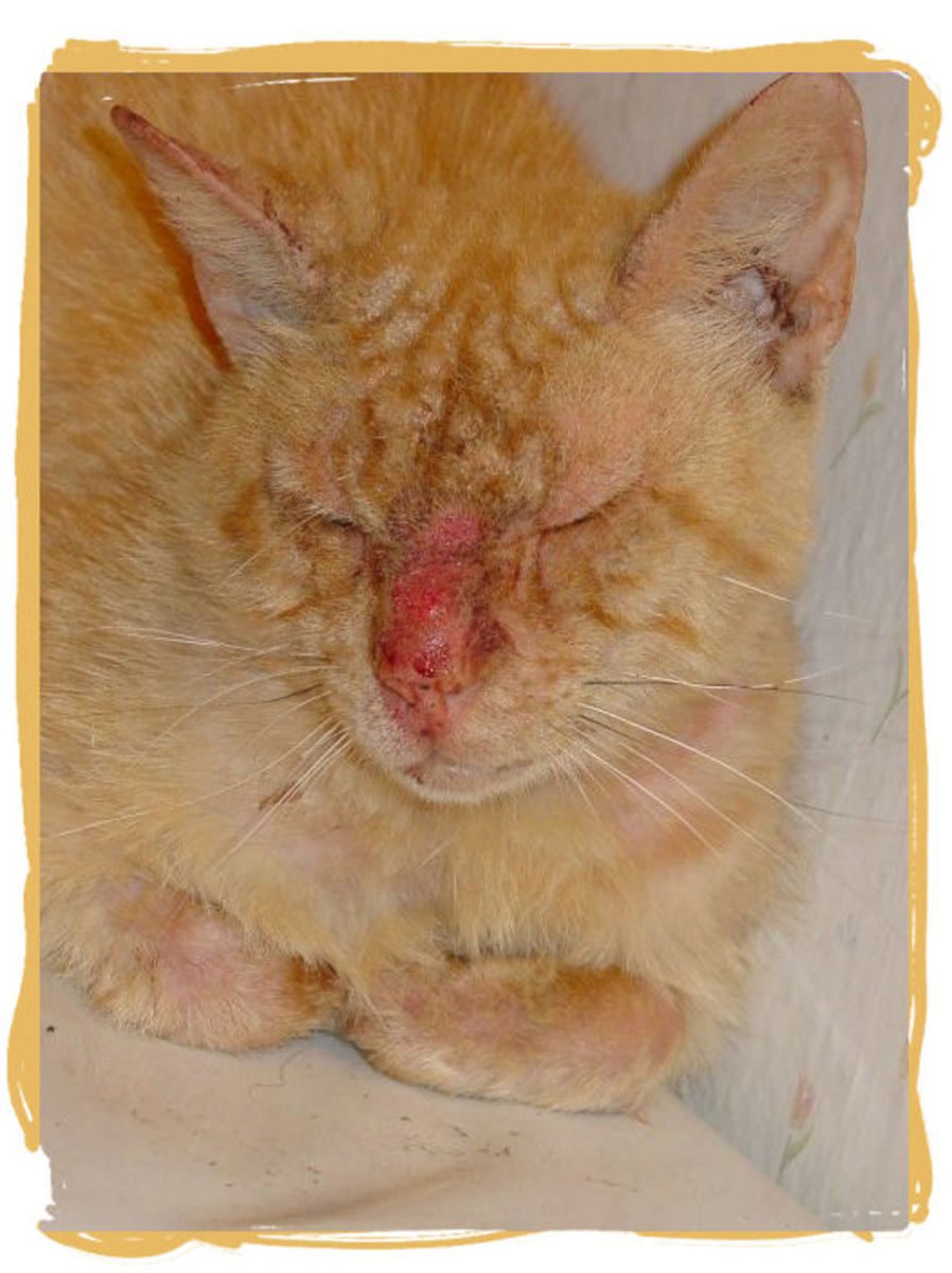 Tommy after first treatment, caught and confined in one of my bathrooms while he healed.