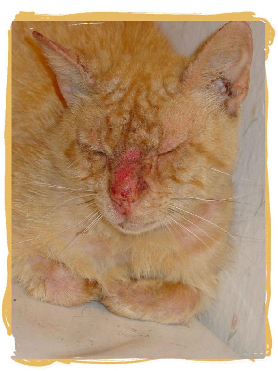 Cat Eyes Swollen Shut