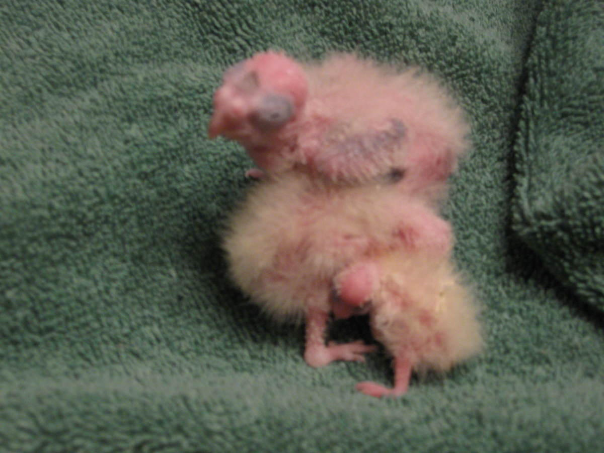 from Derrick gestation period for cockatiels