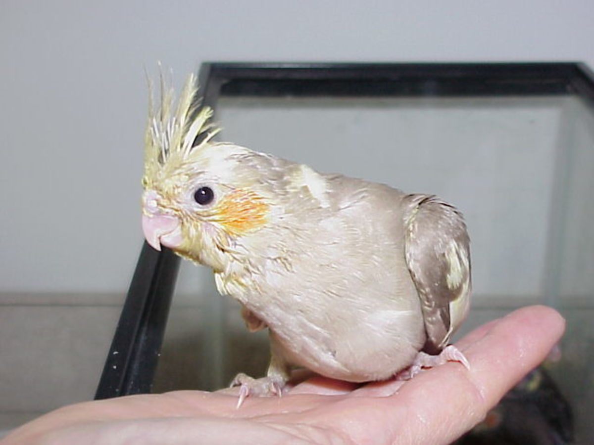 Four week old baby cockatiel.