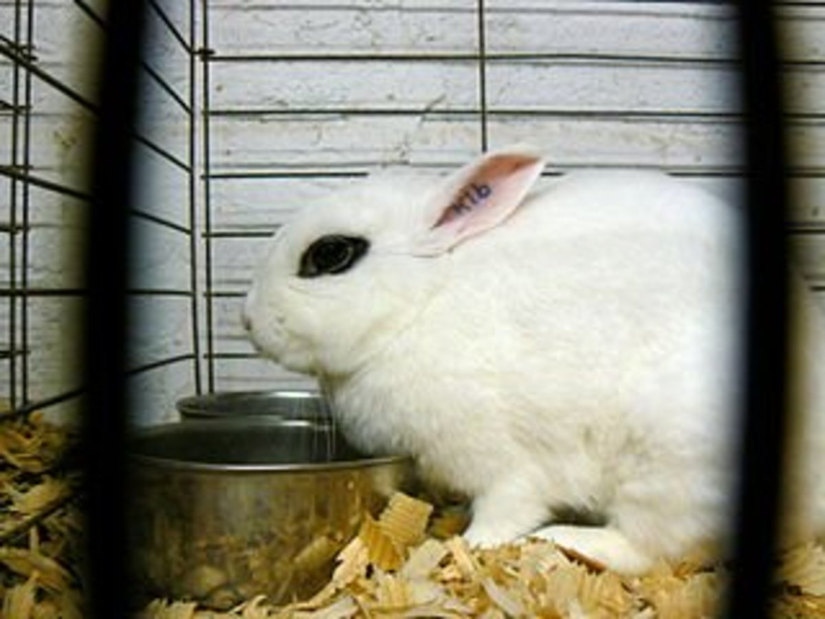 Dwarf Hotot (Courtesy of Benny Mazour)