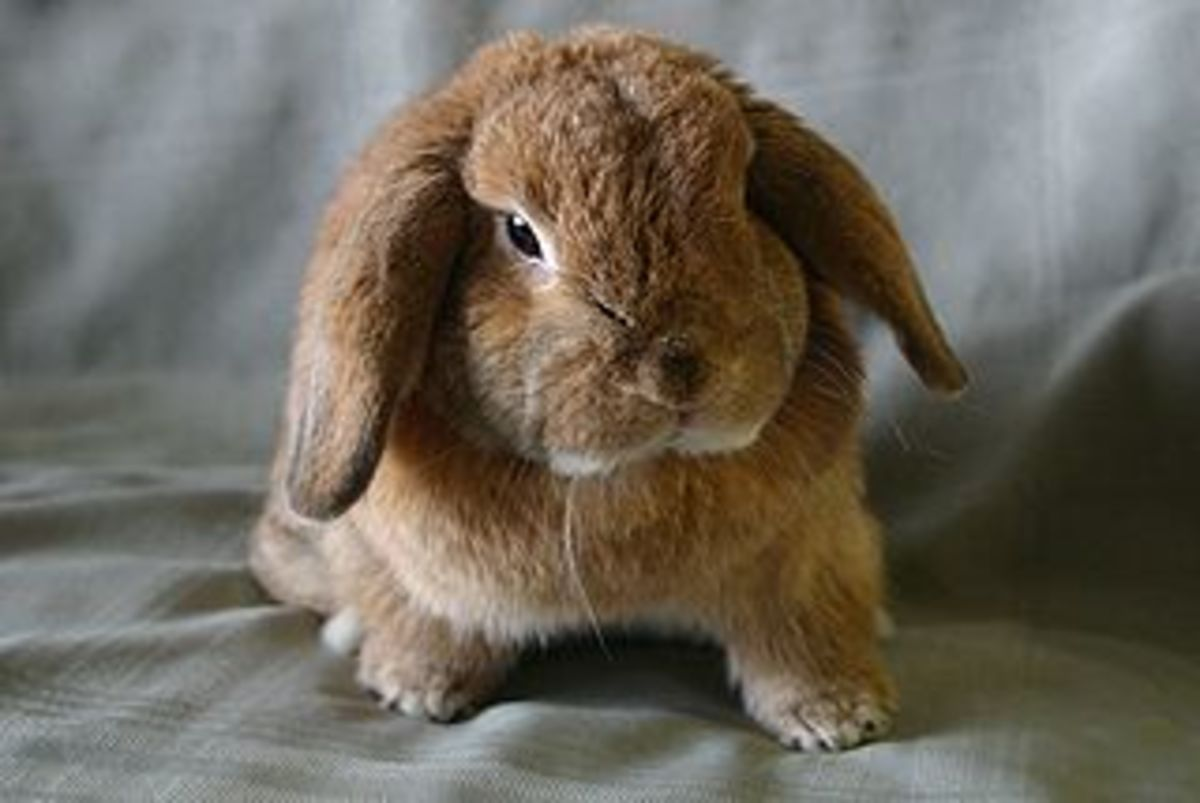 Holland Lop (Courtesy of Orlandkurtenbach)