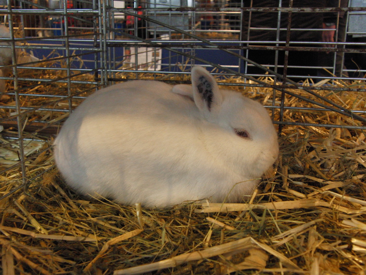 Polish Rabbit