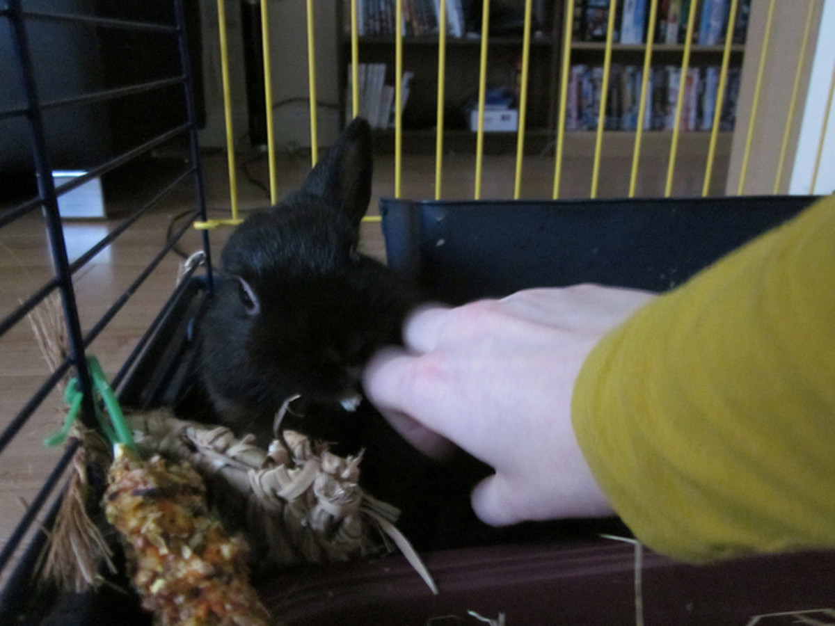 The Ultimate Sign Of Affection Your Rabbit Can Show You Is If It Returns  The Favour Of Grooming. The Picture Below Shows Ronja Trying To Make My  Hand All ...
