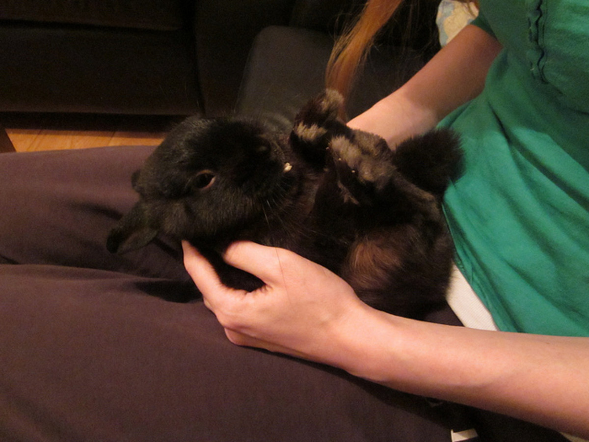 I need help persuading my parents to get me a rabbit. What should I do?