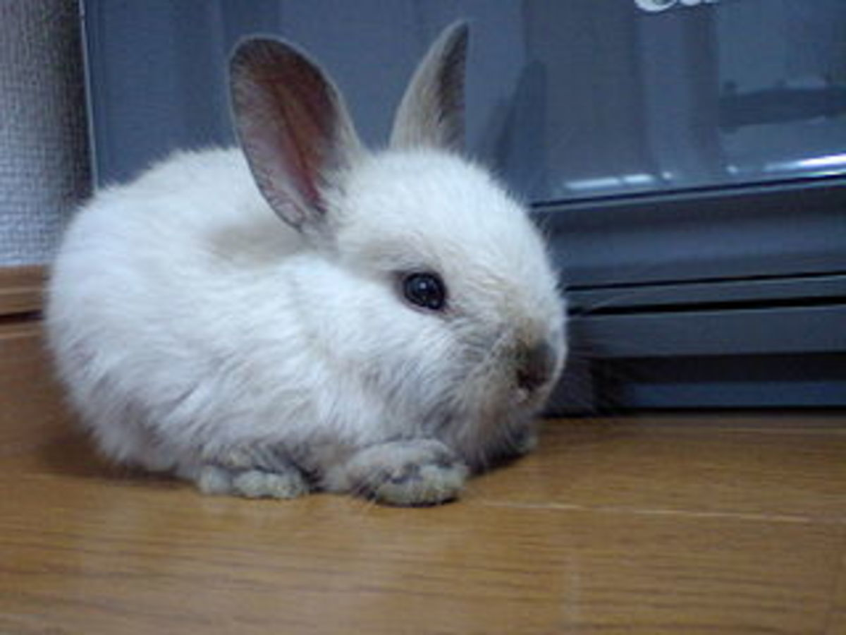 Netherland Dwarf (Courtesy of shogun1192)