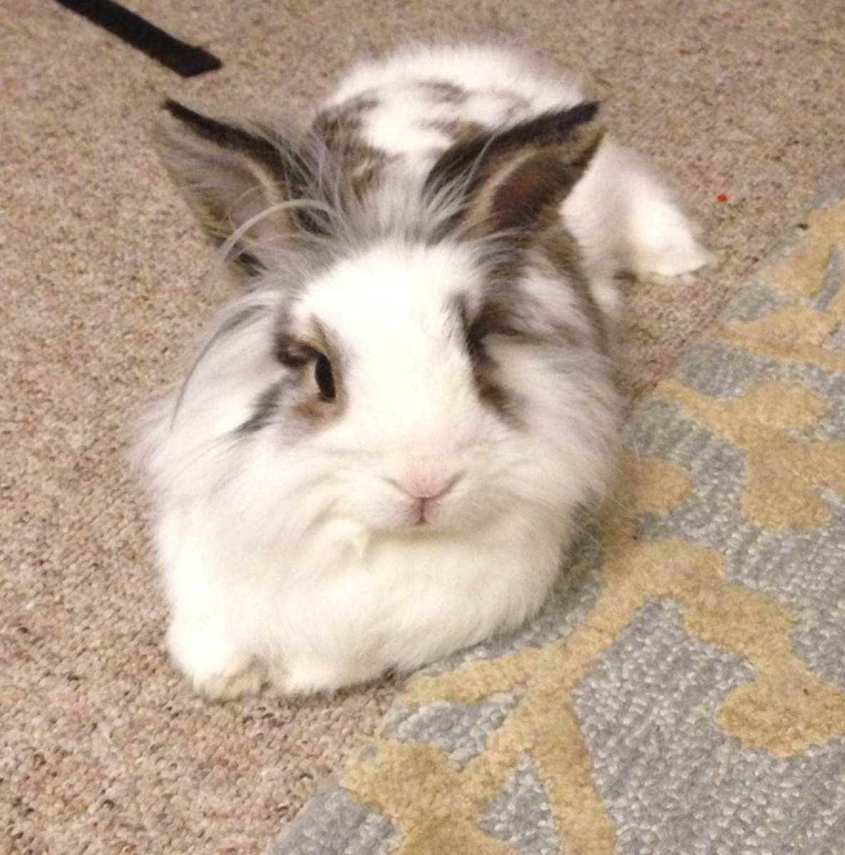 Lionhead Bunny (Courtesy of Caffeinegeek)