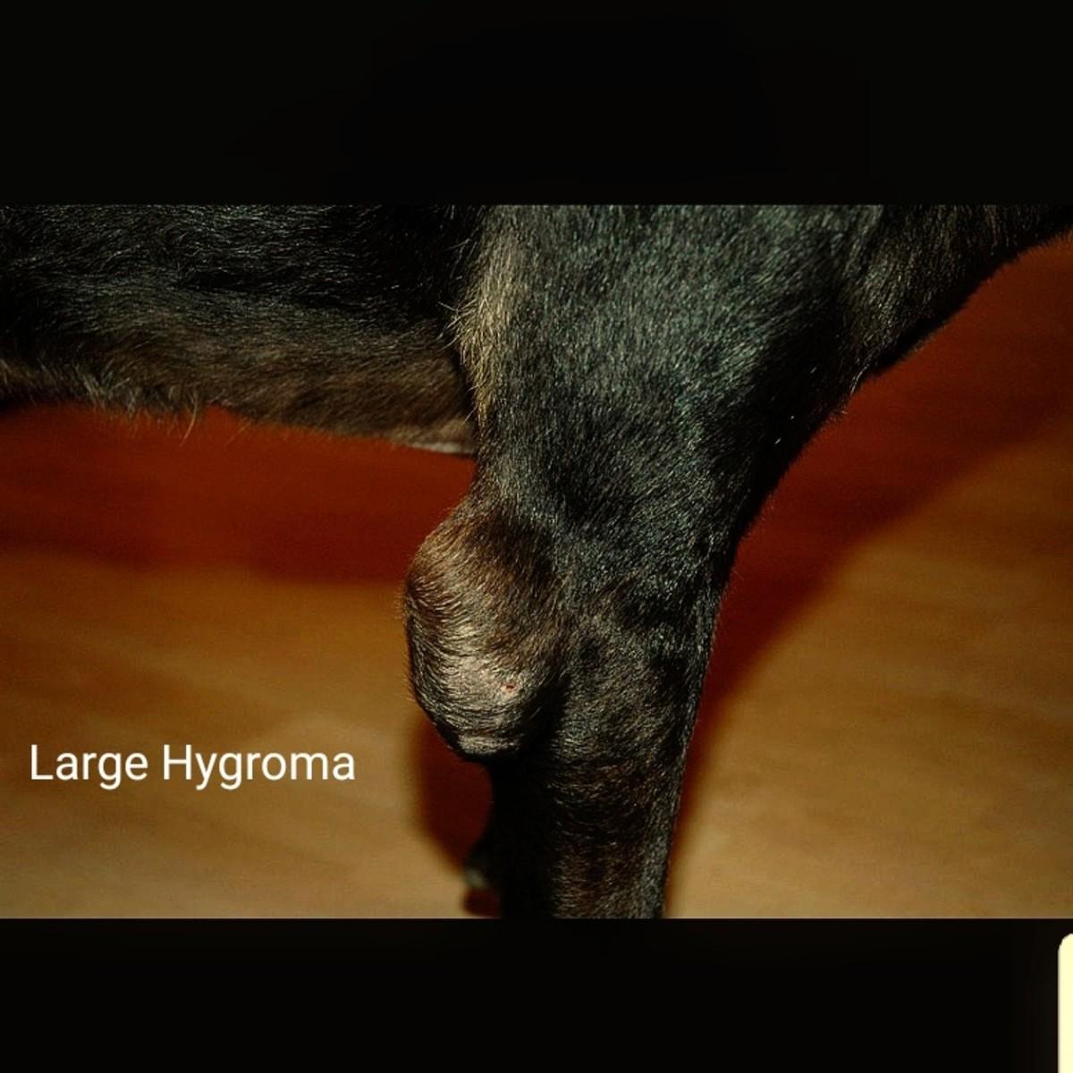Large Hygroma on Dog's Elbow