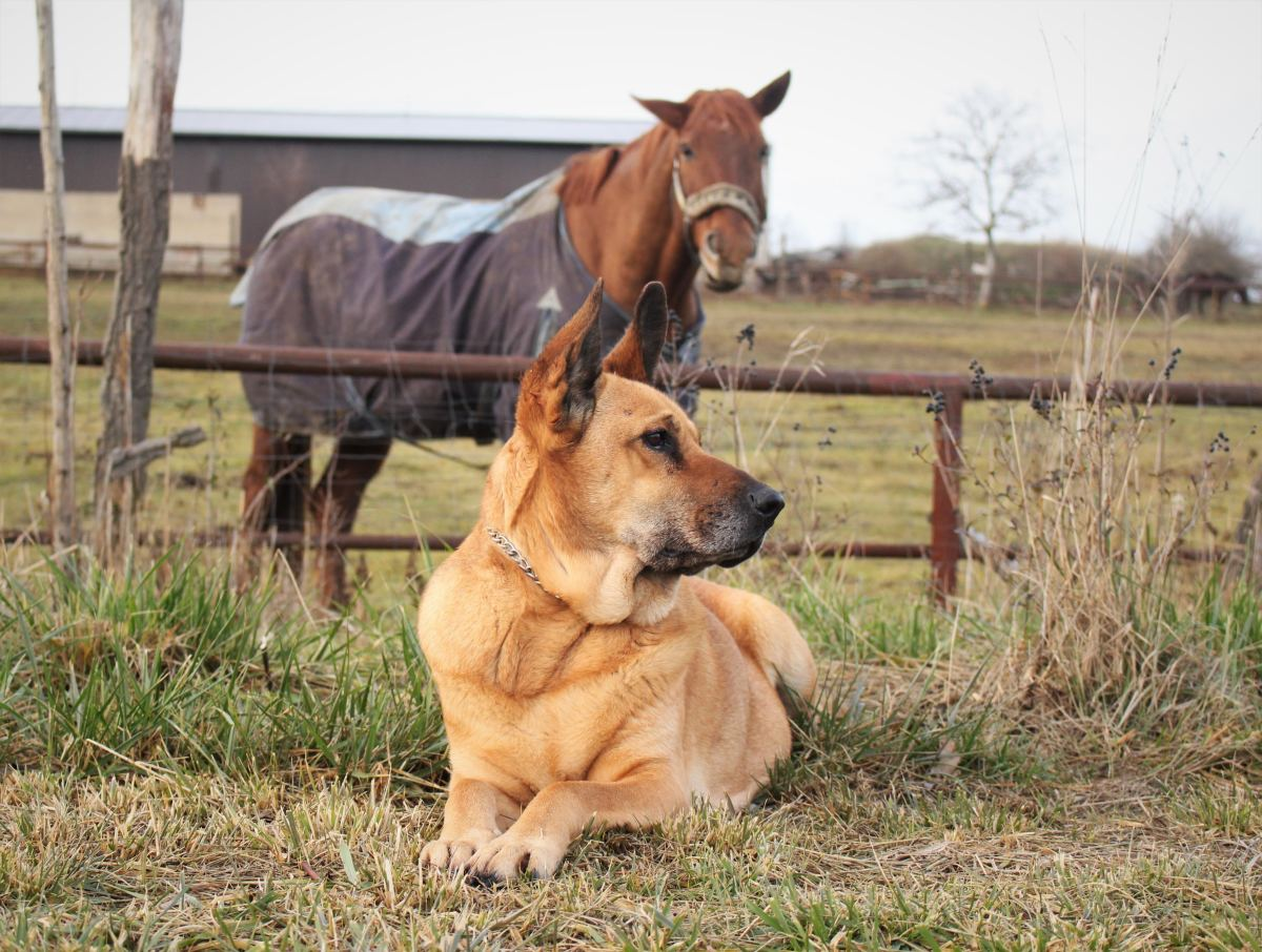Dogs make good companion animals for horses.
