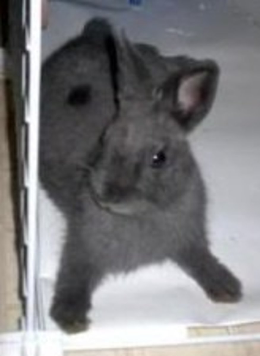 Rabbit breed profile: The Netherland Dwarf