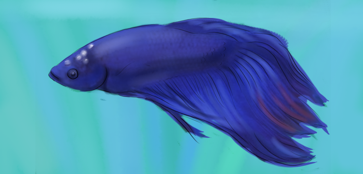 A betta fish with Ich on its head