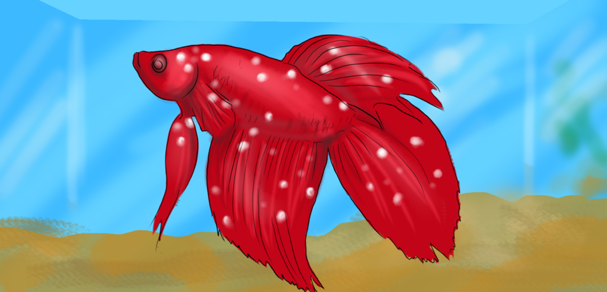 A betta with a bad case of Ich