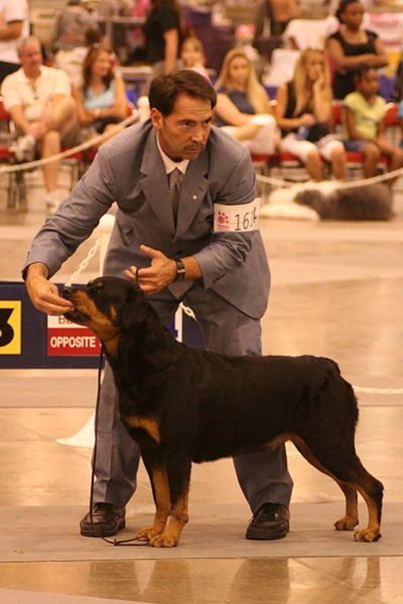 Rottweilers are majestic examples of the molloser type appearance and regalness.
