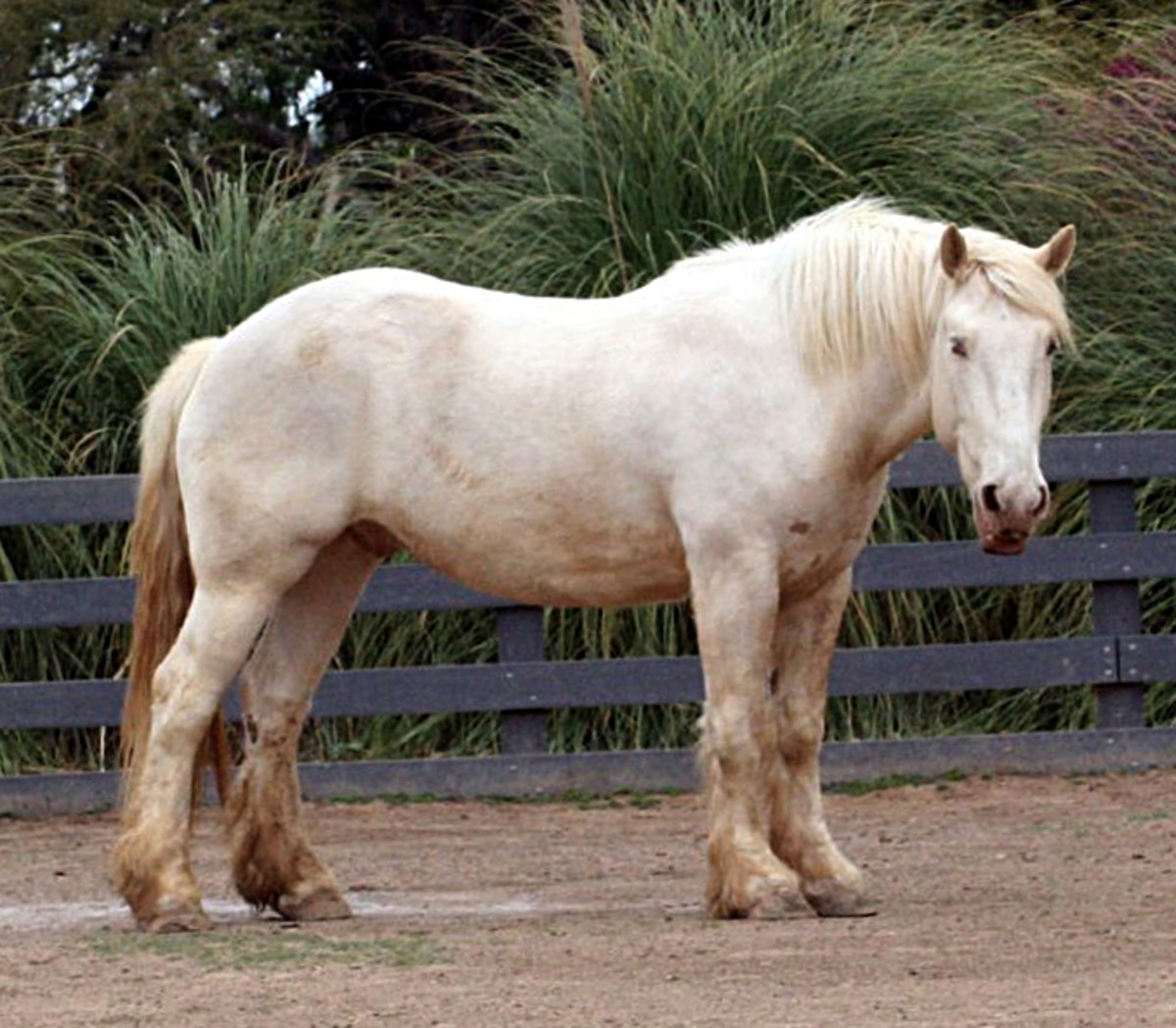 Look at the sheer size and magnificent conformation of this American Cream Draft horse!