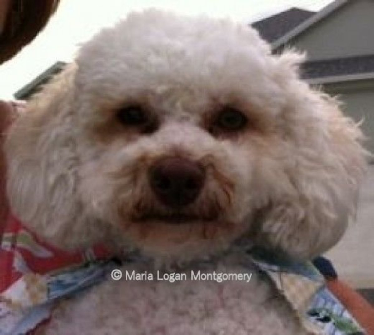 """Perry is a rescue dog who belongs to a former neighbor. His full name is Perry White, but most folks just call him Perry. Here he is being held bye his """"mom""""."""