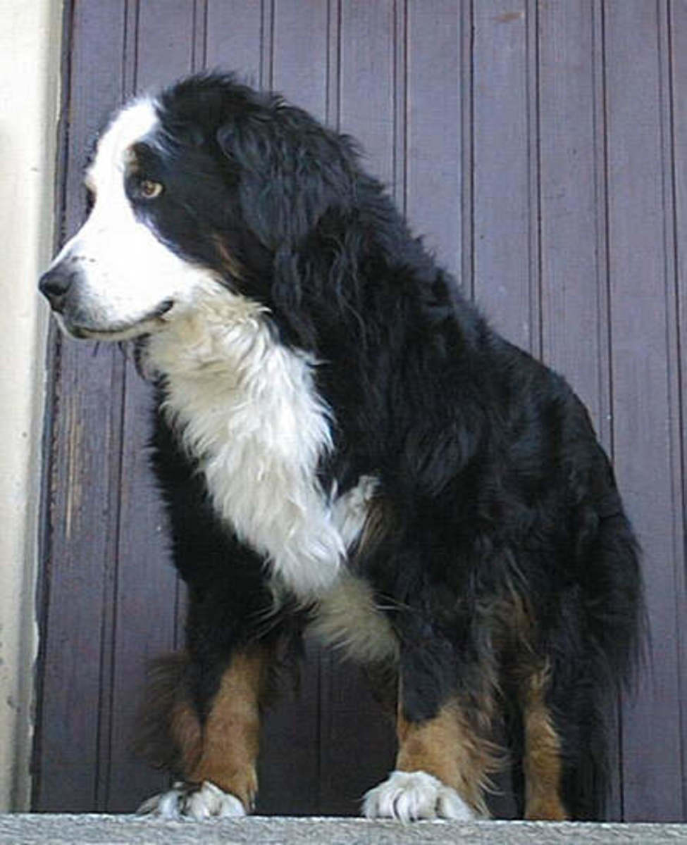 Even though the average life span of a Bernese Mountain dog is about 7 years, this grand specimen is 12 years old.