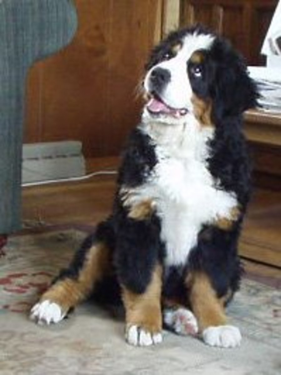 This female puppy is 15 weeks old, and starting to develop the distinctive coat and appearance of a Bernese Mountain dog.