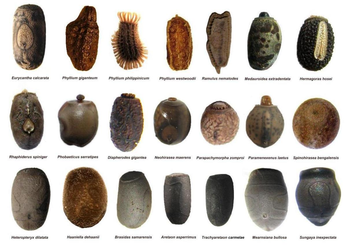 21 examples of different phasmid eggs