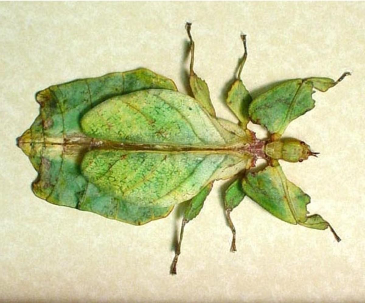 Is it Phyllium giganteum..or a leaf?