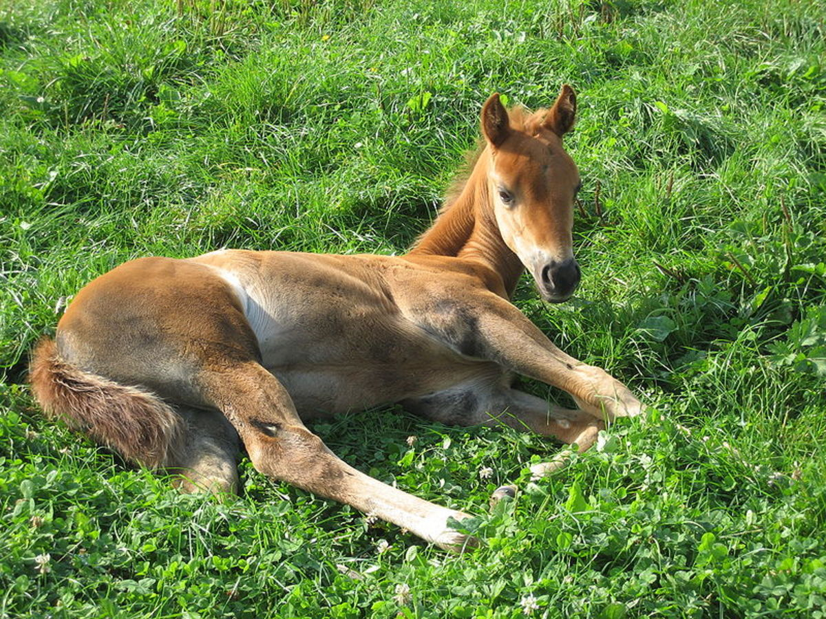 AQH Foal at Rest in the Pasture.