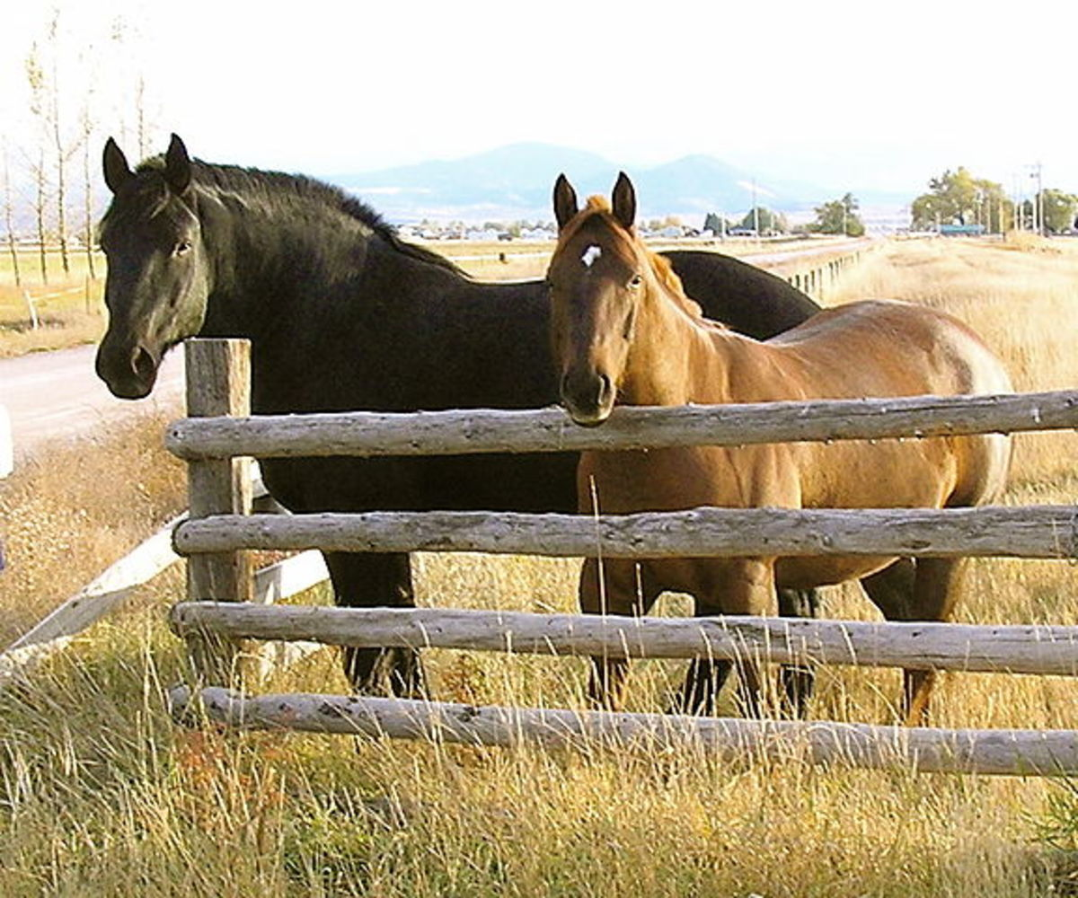 Size comparison of a Percheron to an American Quarter horse.