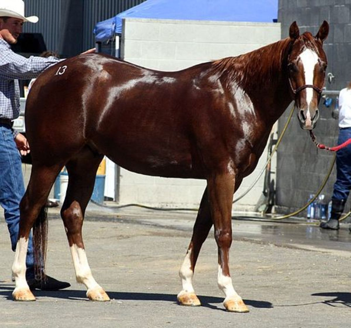 American Quarter horses are an all-American horse that makes a great pet or a fantastic race horse.