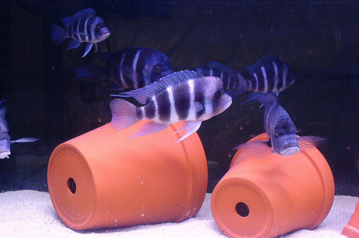 African Frontosa Cichlids
