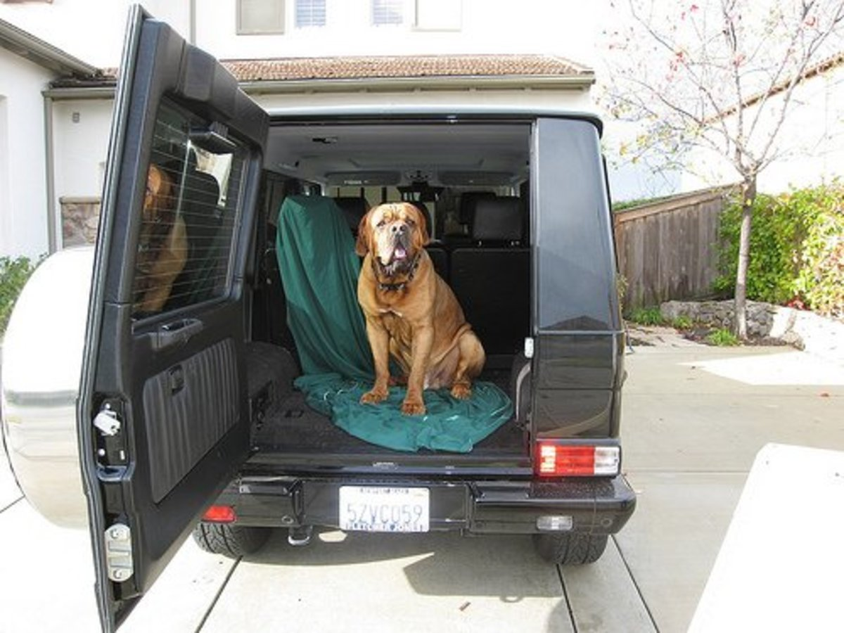 You will need to do some advance planning before adding a Dogue de Bordeaux to your family. For example, consider how you will transport the dog when he needs to go to the vet, or if you simply want to take him along on a family outing.