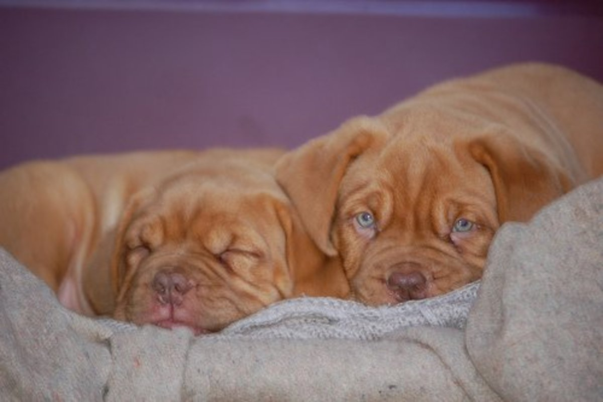 Let sleeping dogues and babies lie . . . when awake, the Dogue is a playful and energetic pet.