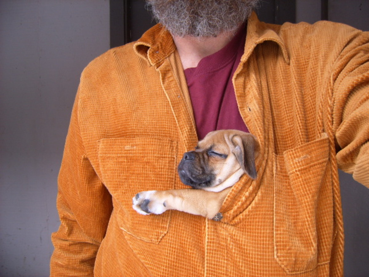 Pugsund sleeping in daddy's shirt