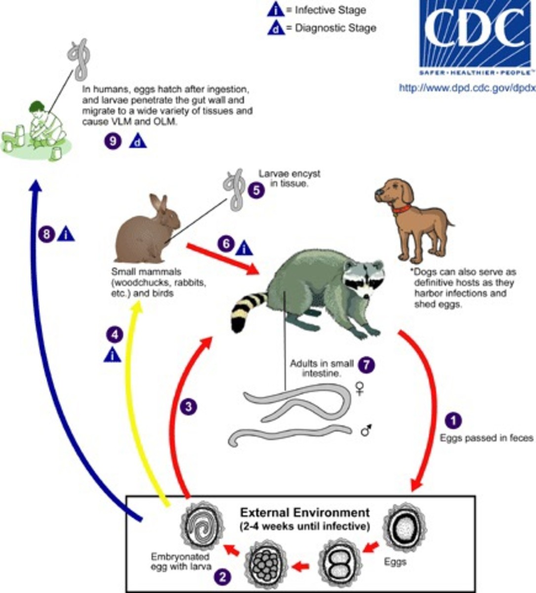The kinkajou can take the place of the racoon in the life cycle of the roundworm shown in this diagram. VLM and OLM are different forms of the disease caused by the roundworm.
