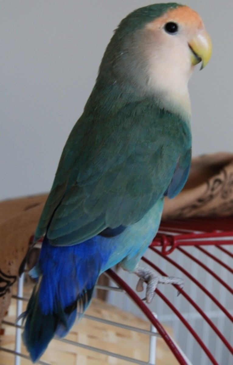 Bonnie, a Dutch blue peach-face lovebird purchased at a bird expo.