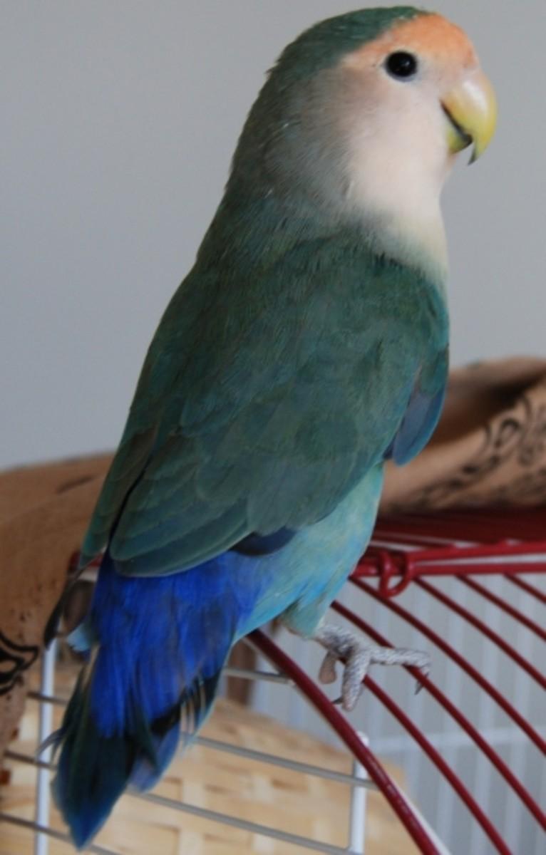 Bonnie, a Dutch blue peach-face lovebird purchased at a bird expo.