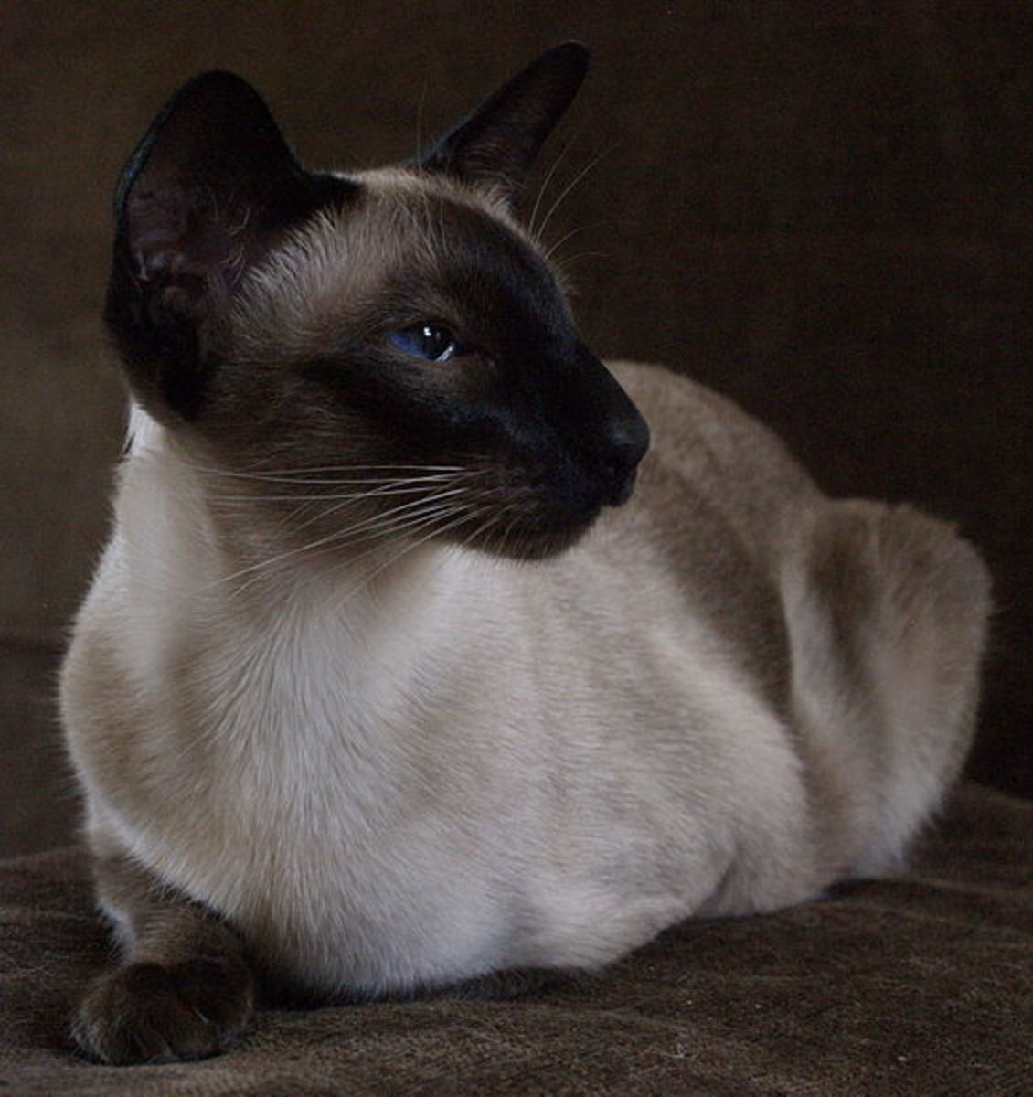Darker colored fur on the extremities (points) are a signature trait of Siamese cats. In addition, the most attractive part of Siamese cats are the eyes that are almond shape and at an angle.