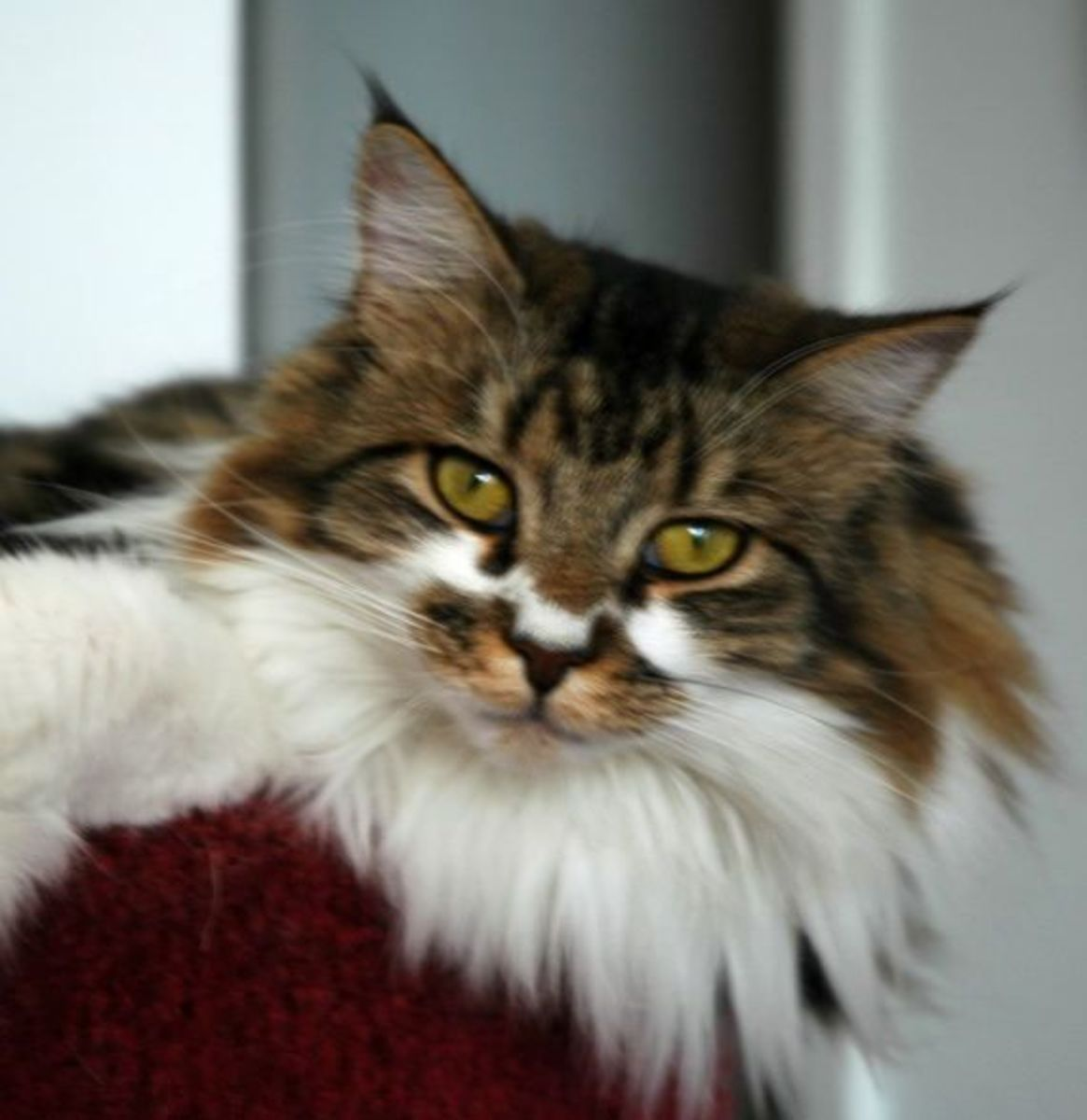Maine Coon cats with a heavy, dense neck ruff like this one pictured above are highly sought after by aficionados of the breed.