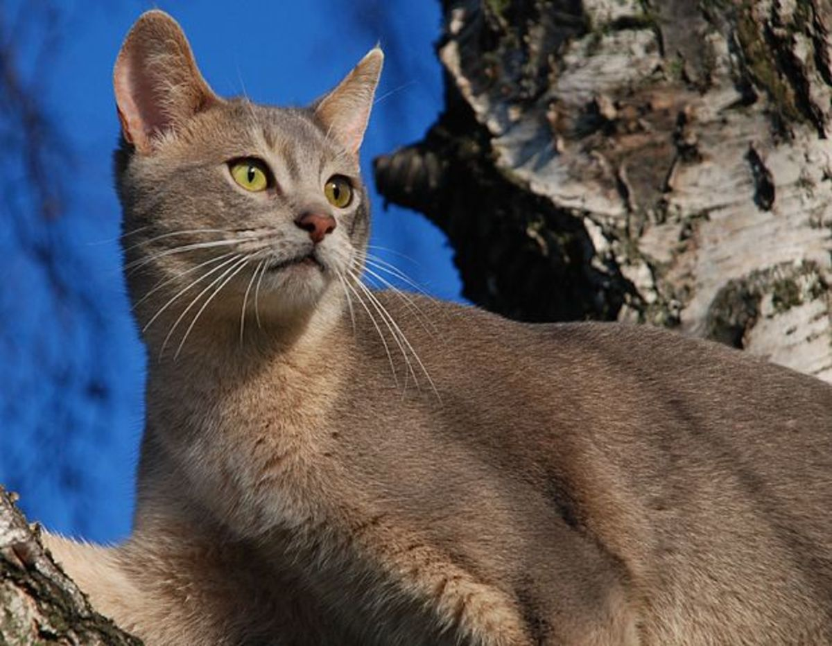 Eye color is a striking characteristic of Abyssinian cats and ranges from green to various shades of gold, hazel, or copper. Coat ticking does not become apparent until the cats are about six weeks old.