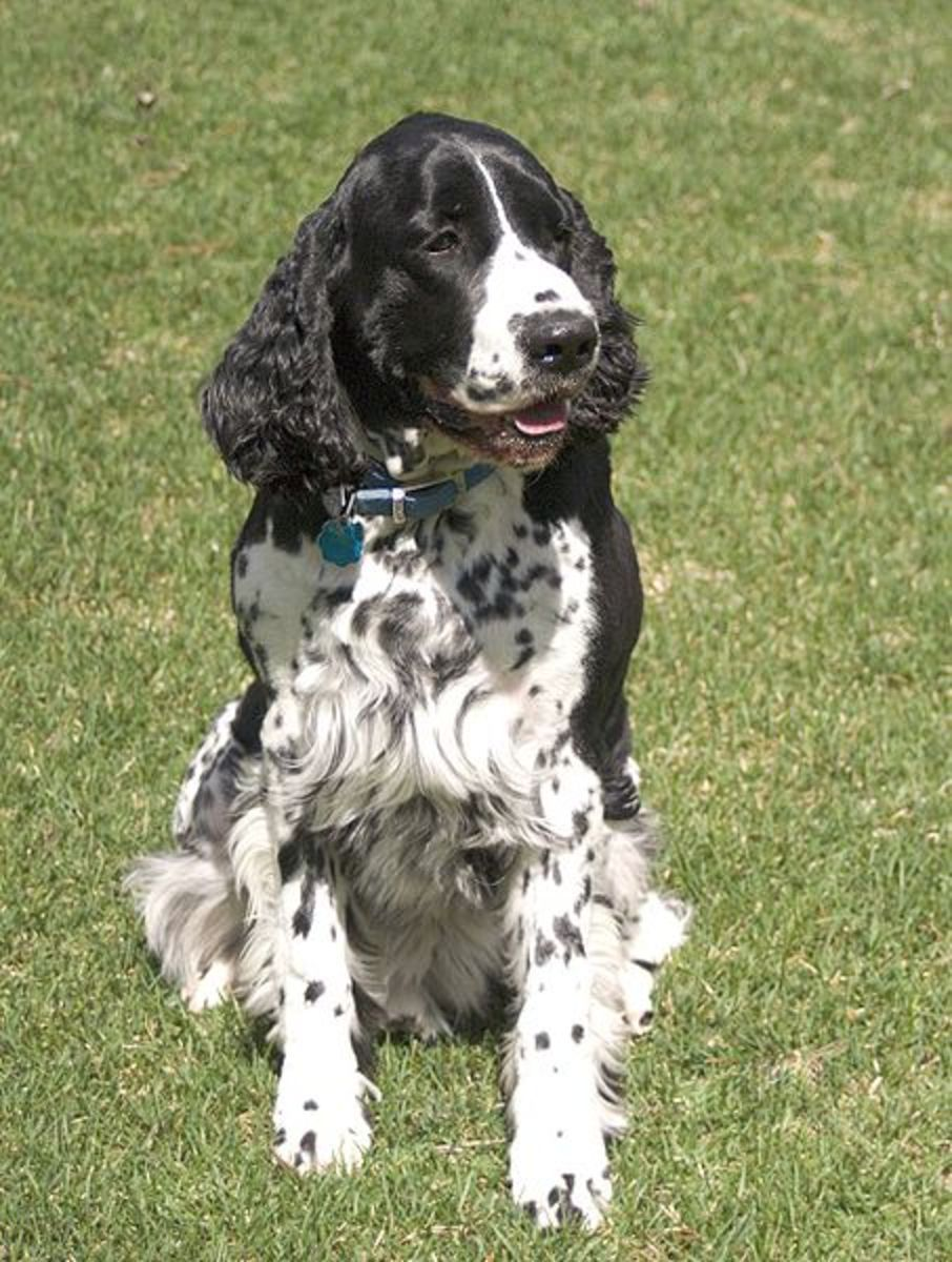 English Springer Spaniels are one of several dog breeds that have heritable canine epilepsy. Ask the breeder for health information on both parents before you make your final choice of a dog.