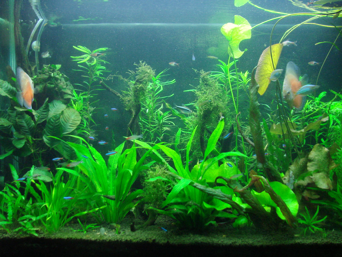 How to choose compatible fish for your community aquarium for Community fish tank