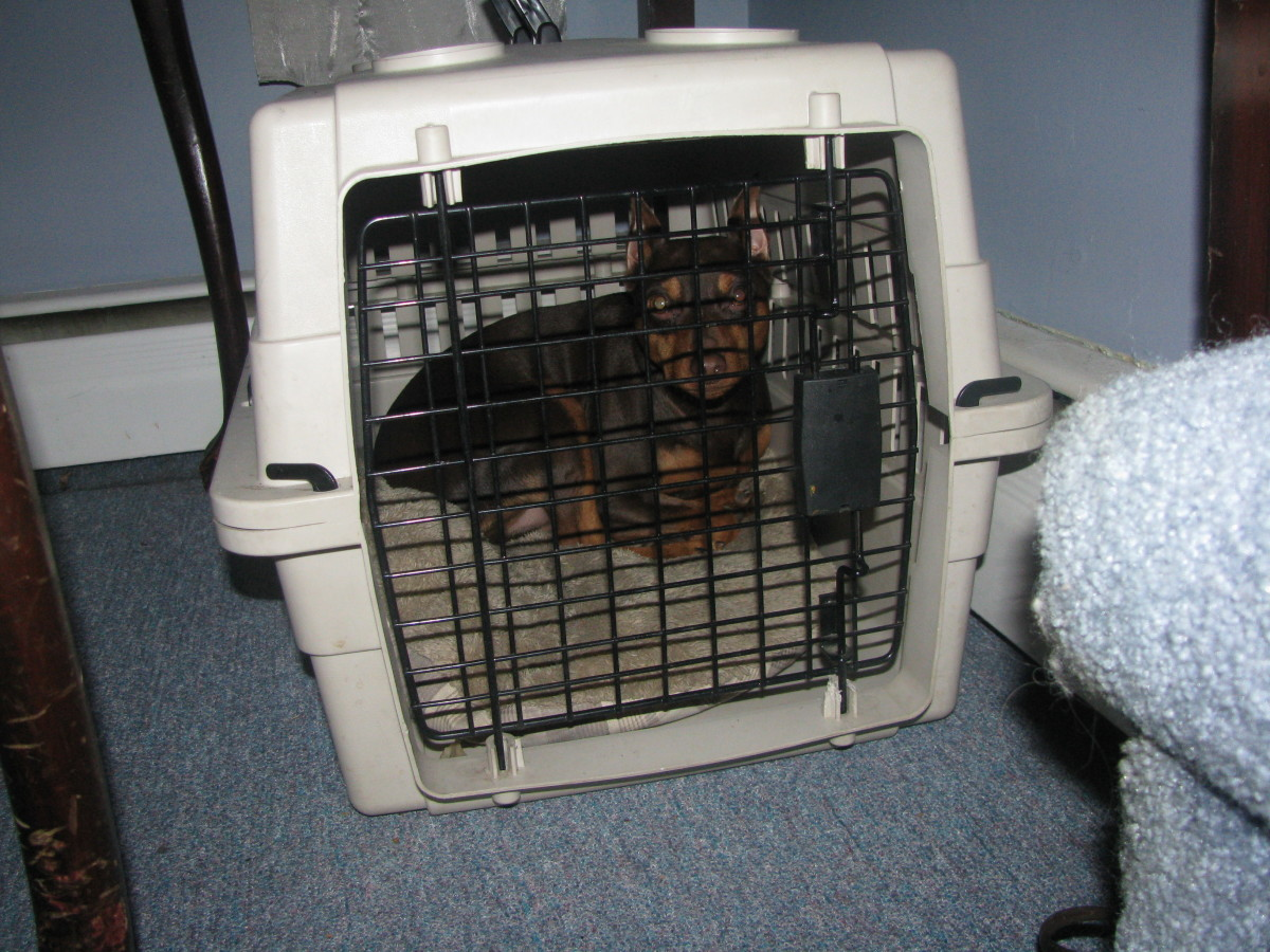 Crate your dog - Buzz likes his crate but only for short periods of time.