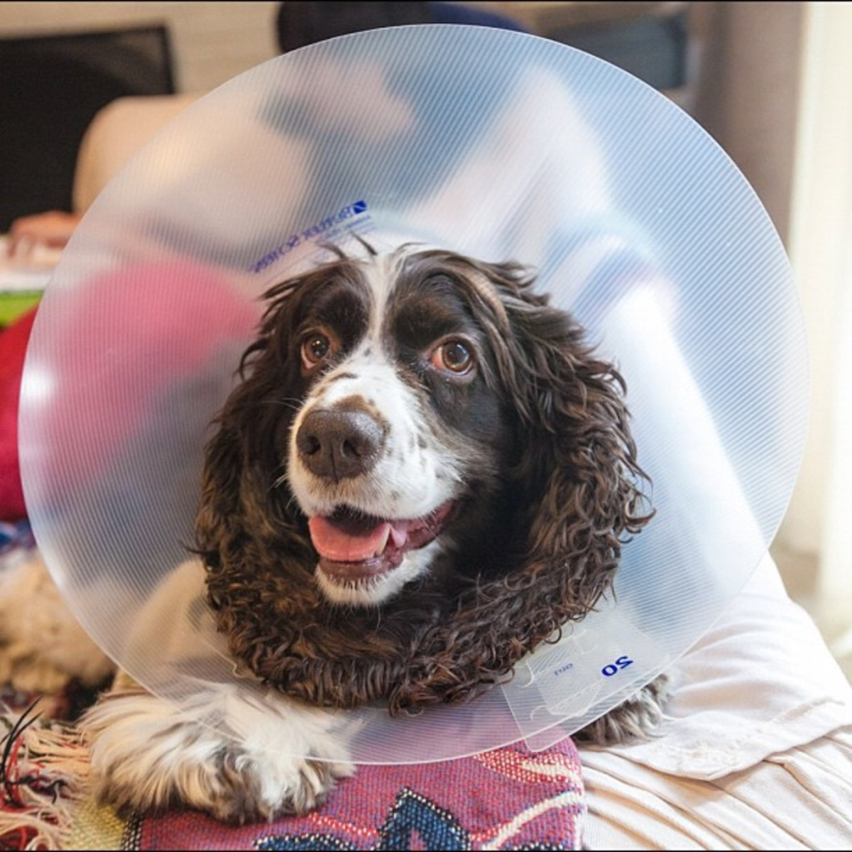 Why is dog shaking after surgery?