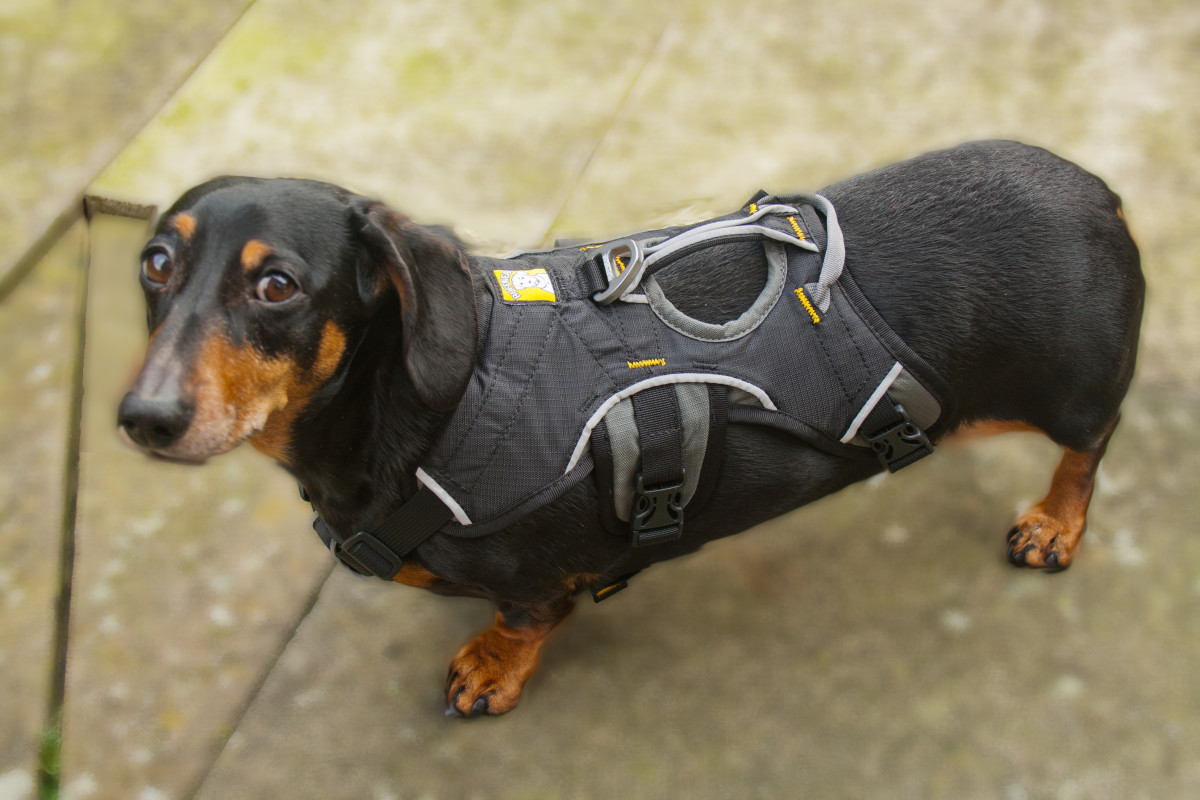 Harnesses should be used on Dachshunds to protect their vertebrae.