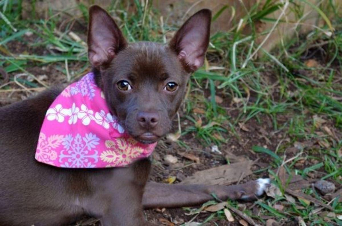 Adorable Mooshoo at the Hawaiian Humane Society wearing her dog bandana