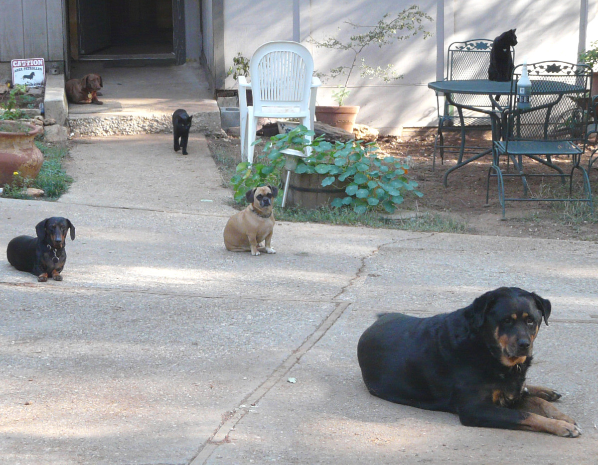 My 4 dogs and 2 cats peacefully coexisting