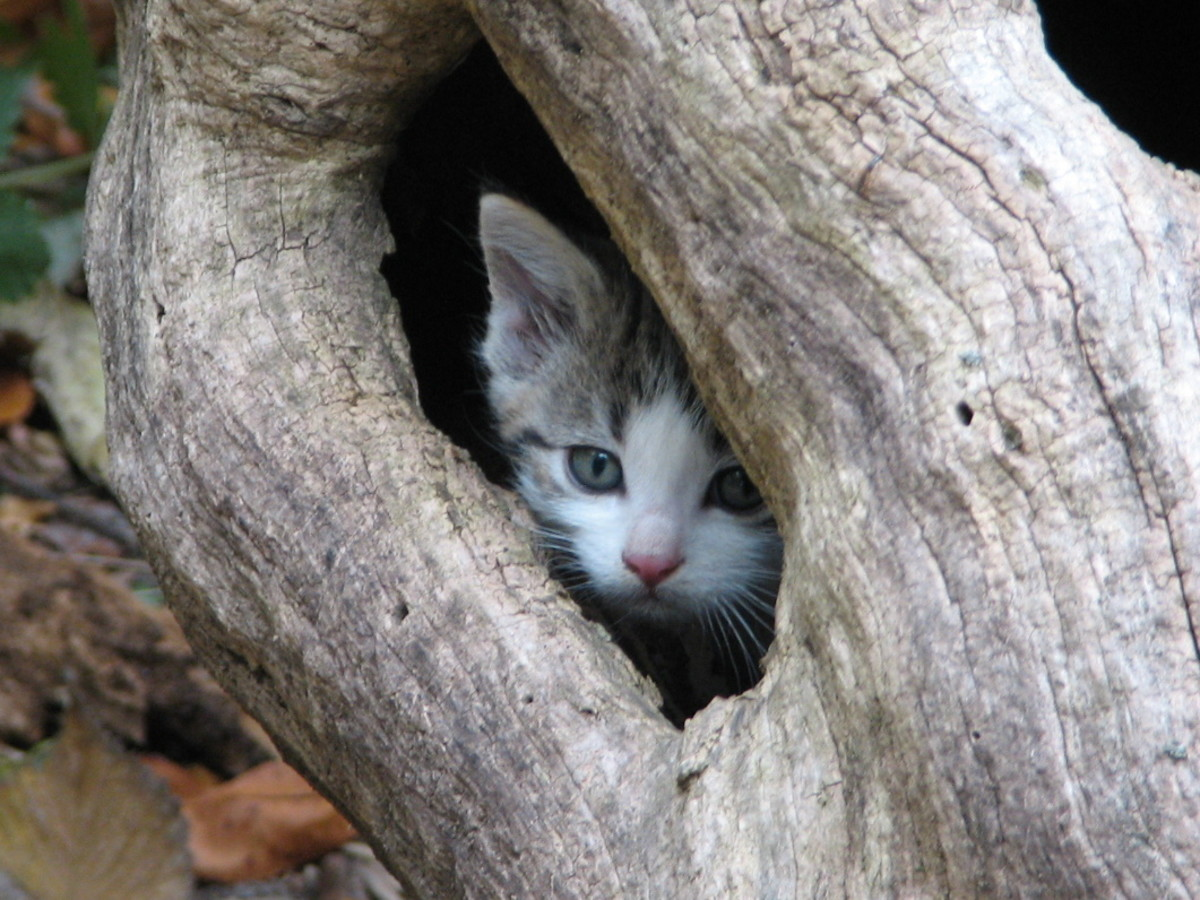 One of the kittens in the hollow log where they lived