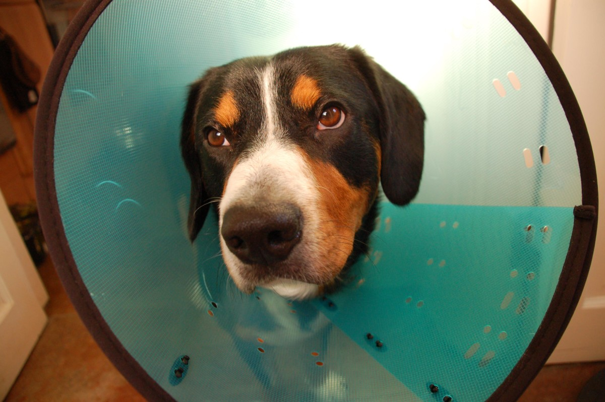 Many Dogs seem to find the Cone more Depressing than their Injuries...