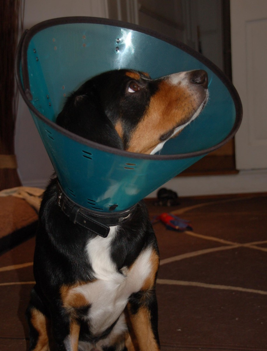 The dreaded cone of shame amplifies sounds and shields your dog's peripheral vision