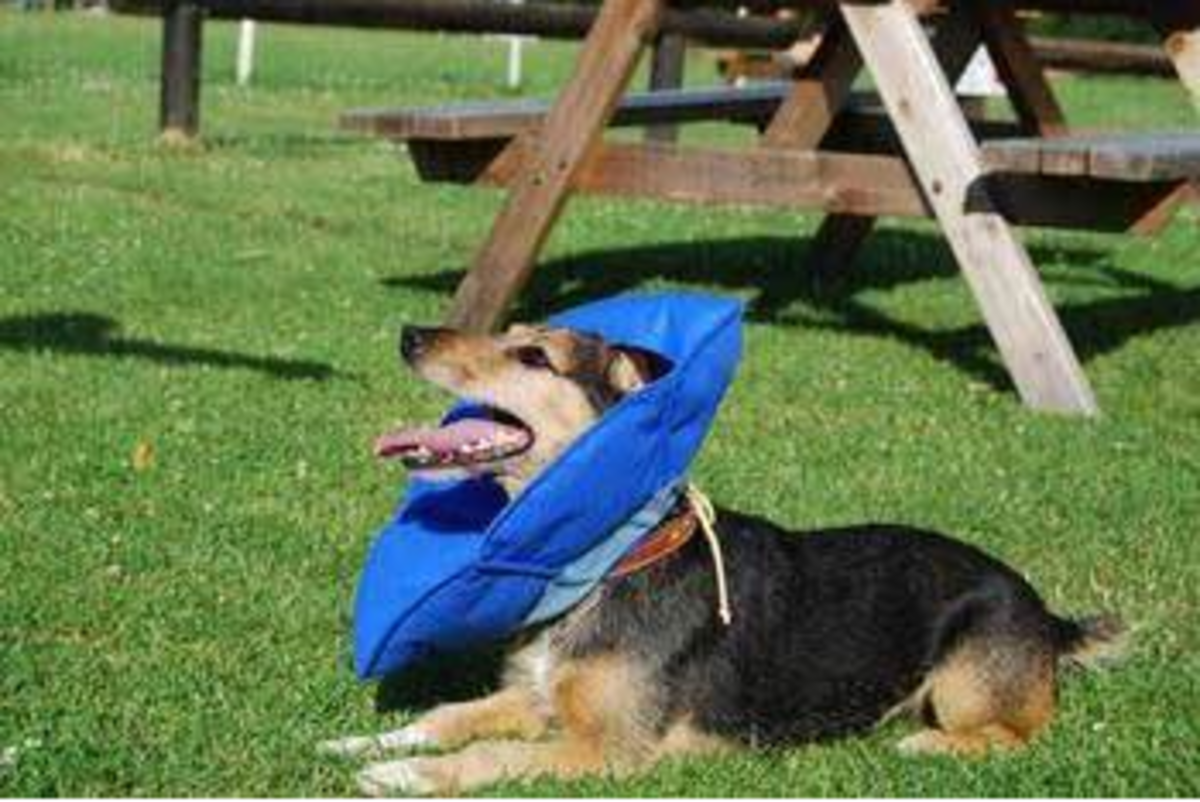 review-of-the-inflatable-dog-collar-is-it-a-safe-and-comfortable-dog-cone-alternative